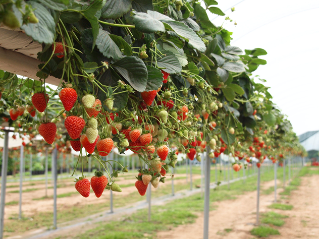 Satisfying your dream of picking strawberries with Thoi Thin Strawberry Garden